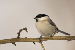 Willow Tit (Poecile montanus) Stock Photos