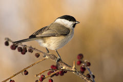 Willow Tit (Poecile montanus). In the side view Stock Photos