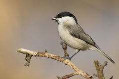 Willow Tit (Poecile montanus). Willow Tit european song bird stock photography