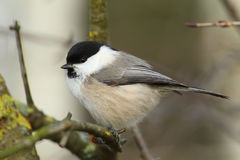 Willow Tit. Poecile montanus. Stock Images