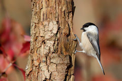 Willow Tit. Poecile montanus. Royalty Free Stock Image