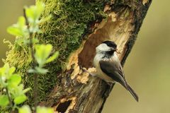 Willow Tit (Poecile montanus) Stock Images