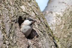 Willow tit excavates nesting hole in decayed tree stock image