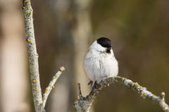 Willow Tit portrait Royalty Free Stock Images