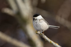 Willow Tit-Schauen Stockfotografie