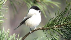 Willow Tit se encaramó en una rama del pino fotografía de archivo