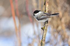 Willow tit sits on a branch covered with lichen. Willow tit Poecile montanus sits on a branch covered with lichen under the rays of the rising sun Royalty Free Stock Image