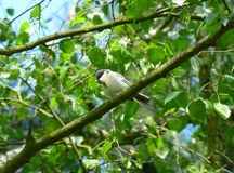 Willow tit sitting on the branch Royalty Free Stock Image