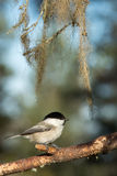 Willow tit sitting on the branch Stock Photo