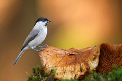 Willow tit on a toadstool. Willow tit perching on a toadstool in the autumn forest stock image