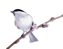 Willow tit on a willow Royalty Free Stock Photography