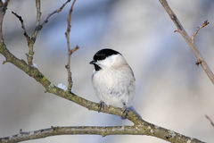Willow Tit in winter Stock Photography
