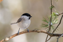 Willow Tit1 Stock Photo