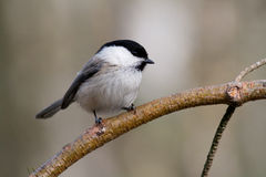 Willow Tit1 Stock Photography