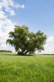 Willow tree Royalty Free Stock Photo