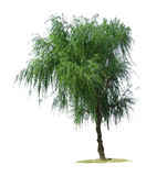 Willow tree. Isolated against pure white royalty free stock photography