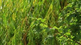 Willow Tree stock video