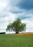 Willow tree Royalty Free Stock Images