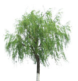 Willow tree. Isolated on white background stock images