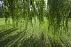 Willow tree. Under the willow tree looking through the branches stock photo