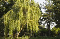 Willow Tree. In Topkapi Palace Park Stock Image