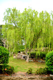 Willow Tree. stock image