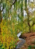 Willow Tree Foto de Stock