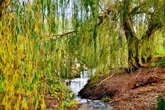 Willow Tree Imagem de Stock Royalty Free
