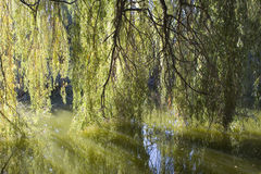 Willow tree. Splendid willow tree in a park Stock Image