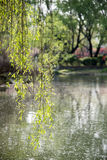 Willow Tree Photo stock