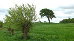 Willow Tree Imagem de Stock