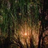 Willow Tree Royaltyfri Fotografi