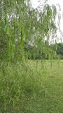 Willow Tree Immagini Stock
