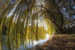 Willow Tree Fotografia Stock
