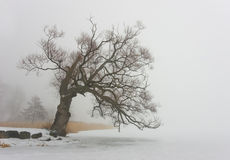 Willow tree. On a foggy winter day stock photo