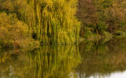 Willow tree above the calm river in autumn. Beautiful nature background royalty free stock photos
