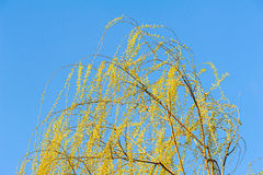 Willow tree against blue sky. The budding willow in spring Royalty Free Stock Images