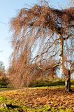Willow tree in the autumn season Royalty Free Stock Image