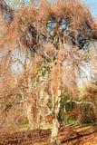 Willow tree in the autumn season Stock Photos