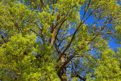 Willow tree Royalty Free Stock Photos