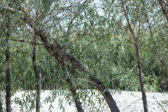 Willow tree. On background of white sand Stock Image