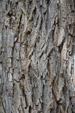 Willow tree bark Stock Photography