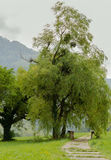 Willow tree. Beautiful willow tree with the nest, National parc Sutjeska Royalty Free Stock Photography
