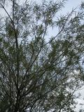 Willow Tree blanca Fotos de archivo libres de regalías