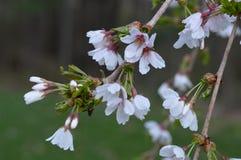 Willow Tree Blossoms que llora imagen de archivo libre de regalías