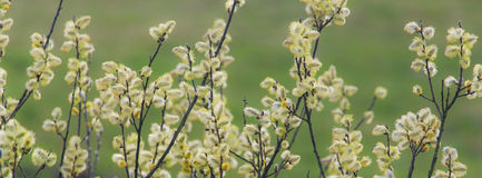 Willow tree blossoms in spring Stock Photography