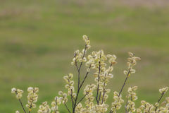 Willow tree blossoms in spring Royalty Free Stock Photos