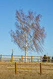 Willow tree blowing in the wind Royalty Free Stock Images