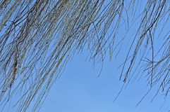 Willow tree branch in the spring. Against blue sky stock images