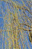 Willow tree branch in the spring. Against blue sky royalty free stock images